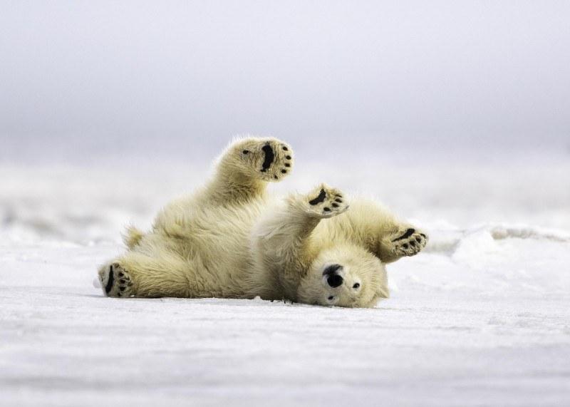 Obserwowanie beztrosko bawiącego się niedźwiedzia polarnego na wolności może być wkrótce niemożliwe.