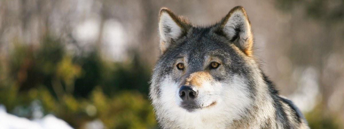 Tłumy przeciwne decyzji rządu. Znów domagają się odstrzału zagrożonego gatunku