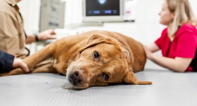 Co było przyczyną fali zachorowań norweskich psów? Weterynarze mają swój typ