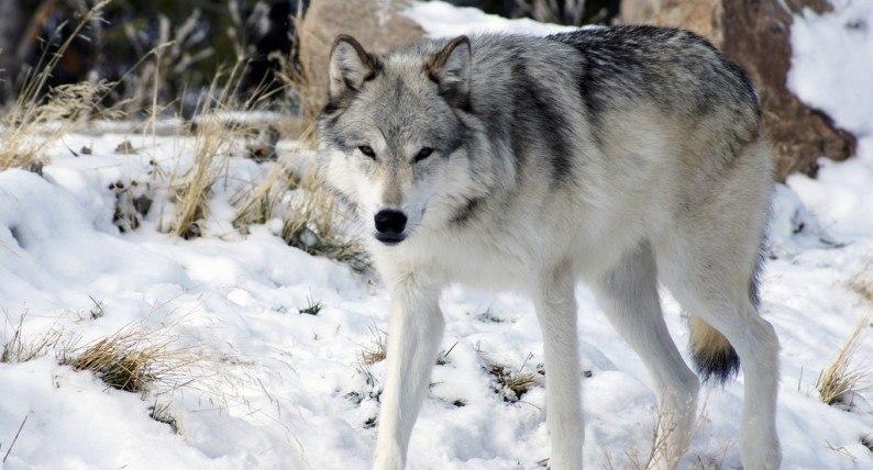 Norweski rząd zamyka usta obrońcom przyrody: będzie legalny odstrzał wilków. To już niemal pewne