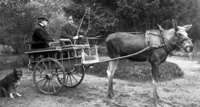 Dostarczanie poczty, wyścigi kłusem: jak Skandynawowie próbowali udomowić łosie