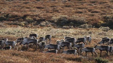 Wild mountain reindeer in Norway.