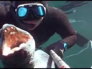 Spearfishing in Norway - Fosenstraumen wolffish !