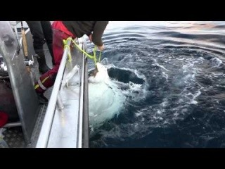 Halibut Fishing Lofoten Summer 2014 norway