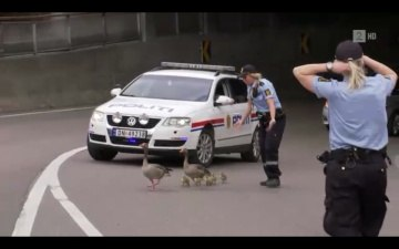 Police in Norway protecting duck family on the road. VERY NICE!