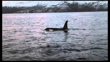 Orcas of Northern Norway