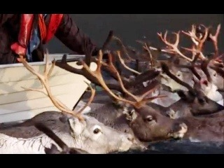 Arctic Reindeer river crossing - Human Planet - BBC