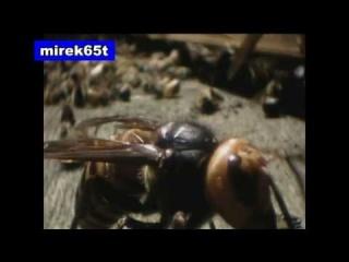 Attack of hornet-Wojna pszczół z szerszeniami